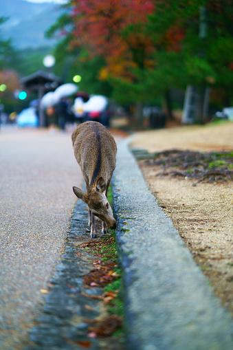 Deer roam freely in the Nara park complex 1149937161