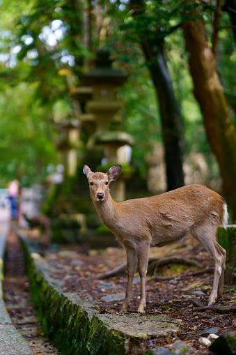 Deer roam freely in the Nara park complex 1149937201