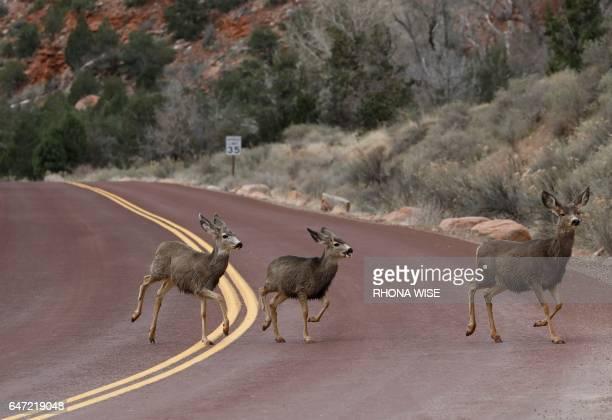Deer run across a road in Zion National Park in Utah on February 9 2017 / AFP PHOTO / RHONA WISE