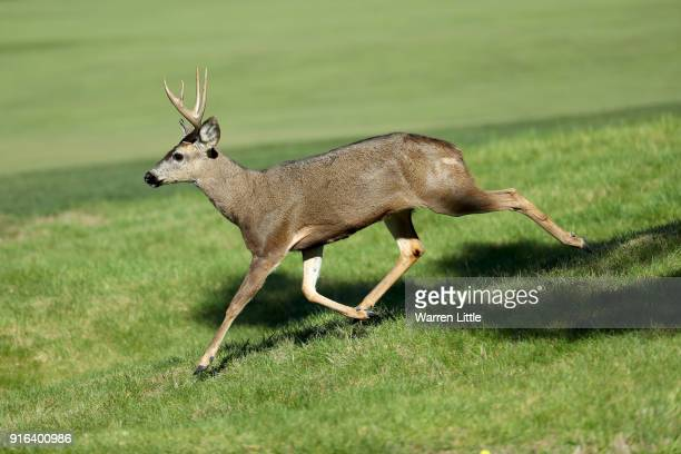 A deer runs across the course during Round Two of the ATT Pebble Beach ProAm at Monterey Peninsula Country Club on February 9 2018 in Pebble Beach...