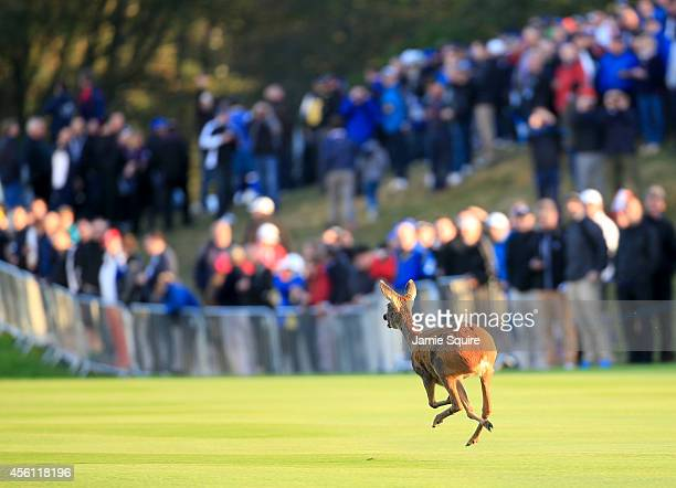 Deer runs down the fairway during the Morning Fourballs of the 2014 Ryder Cup on the PGA Centenary course at the Gleneagles Hotel on September 26,...