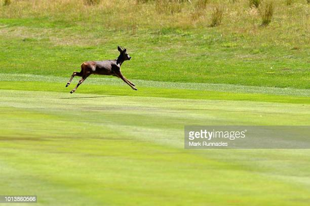 A deer runs over the fairway on hole twelve during day two of the European Golf Team Championships at Gleneagles on August 9 2018 in Auchterarder...