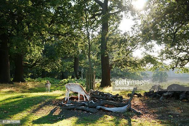 deer scenic, richmond park, london, uk - リッチモンド公園 ストックフォトと画像