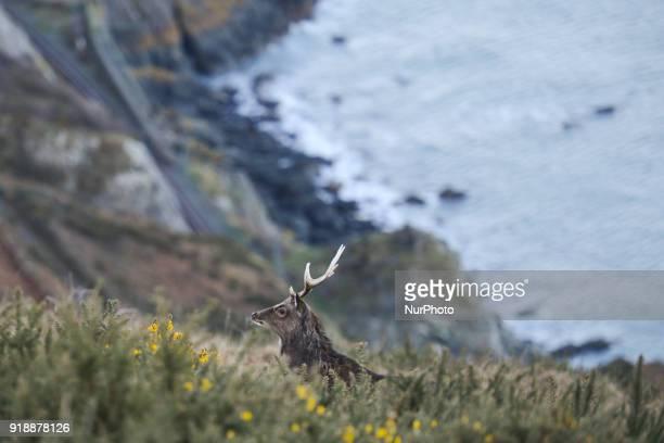 A deer seen near the BrayGreystones cliff walk On Thursday February 15 Dublin Ireland