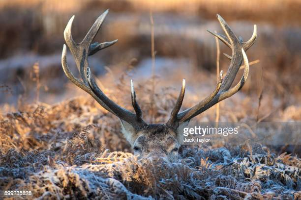 Deer sits among the bracken on Richmond Park as the sun rises on December 28, 2017 in London, England. A cold spell has hit Britain causing travel...
