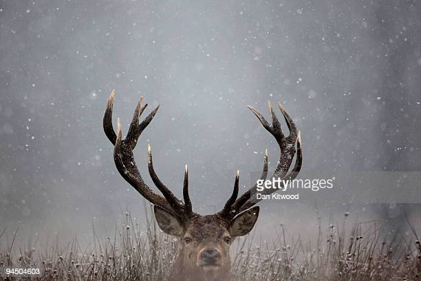 A deer sits in the snow in Richmond Park on December 16 2009 in London England A cold weather front is due to bring snow to parts of the country...