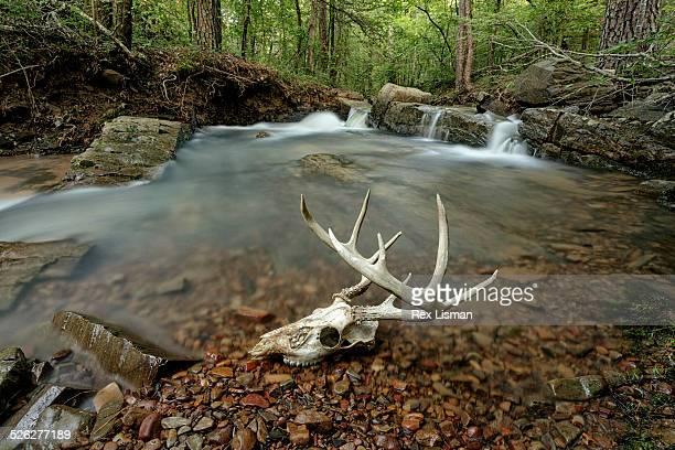 Deer skull along a creek near a waterfall