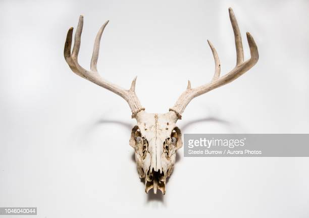 Deer skull hanging on white wall, Colorado, United States