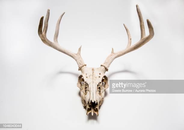 deer skull hanging on white wall, colorado, united states - wapiti foto e immagini stock
