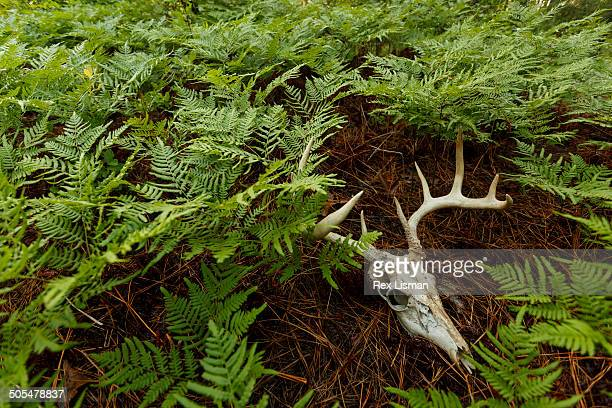 A deer skull with antlers among ferns