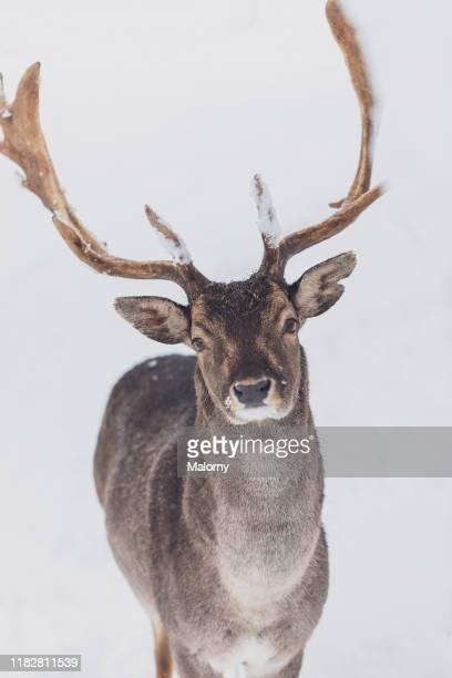 deer stag in deep snow, looking at camera. - oberbayern stock-fotos und bilder