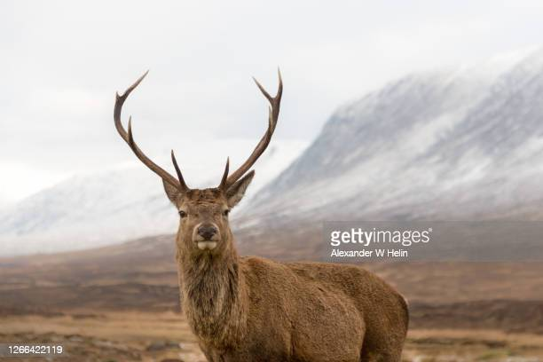 deer stag - deer stock pictures, royalty-free photos & images