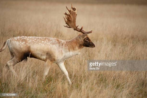 deer stag with antlers, bushy park, united kingdom - boris stock pictures, royalty-free photos & images