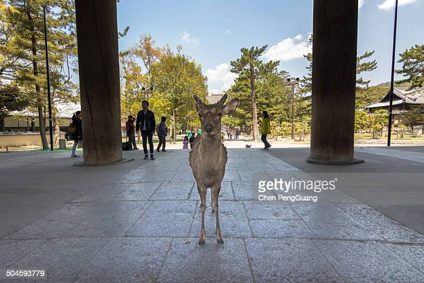 Deer stand and wait tourists feeding at the entrance of Todaiji on April 23, 2014 in Nara, Japan. Nara is famous for the friendly wild deers and also...