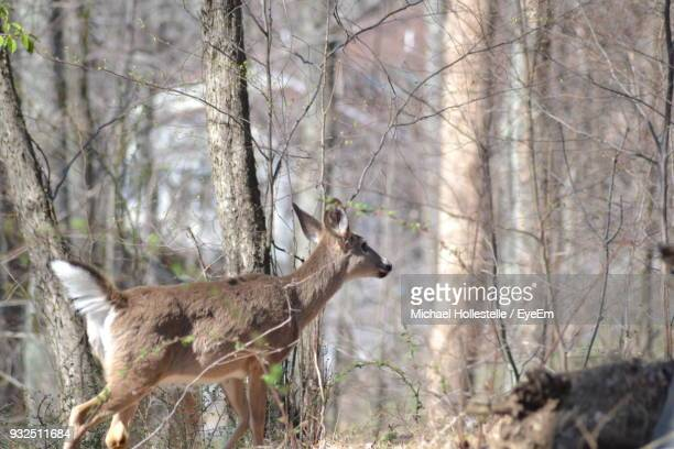 Deer Standing Against Trees At Forest