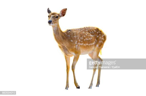 Deer Standing Against White Background