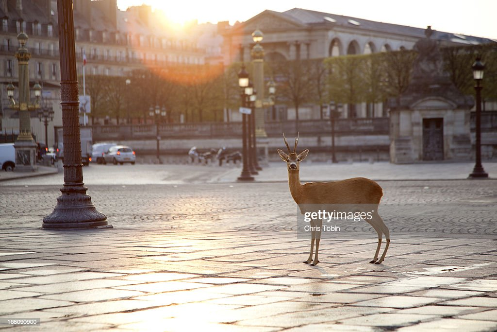 Deer standing at Place Concorde : Stockfoto