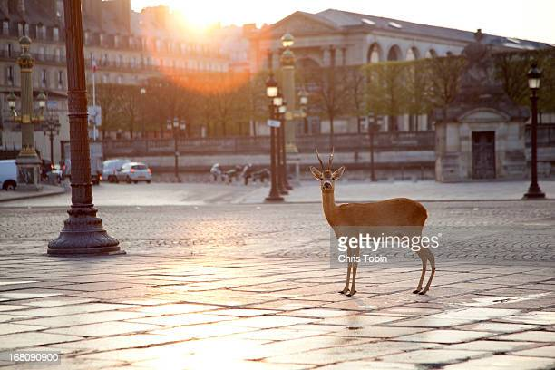 deer standing at place concorde - gegensatz stock-fotos und bilder