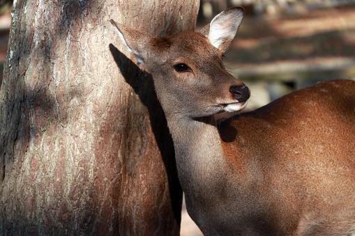 Deer standing beside the trunk of tree at the park in Nara, Japan. 884295738
