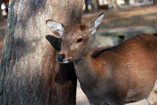 Deer standing beside the trunk of tree at the park in Nara, Japan. 884447870