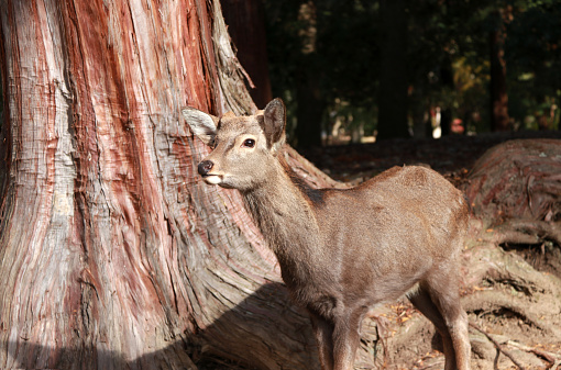 Deer standing beside the trunk of tree at the park in Nara, Japan. The park is home to hundreds of freely roaming deer. 895622714