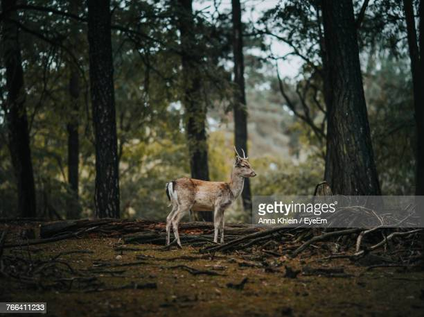 deer standing by trees in forest - one animal stock pictures, royalty-free photos & images