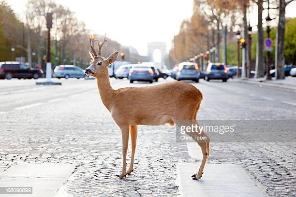 deer standing in crosswalk on champs-élysées - avenue des champs elysees stock pictures, royalty-free photos & images