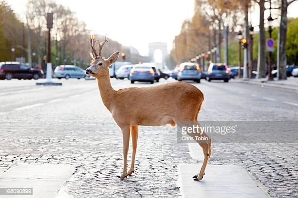 deer standing in crosswalk on champs-élysées - paso de cebra fotografías e imágenes de stock