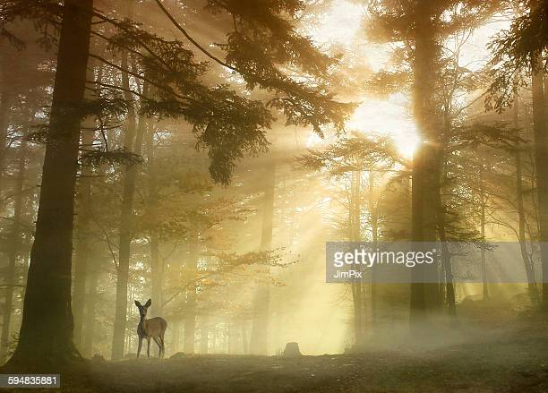 Deer standing in forest with sunlight beaming through trees, Molsheim, Alsace, France