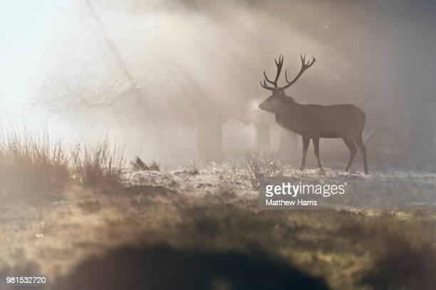 deer (cervidae) standing in meadow at sunrise, richmond park, surrey, england, uk - i cervi foto e immagini stock