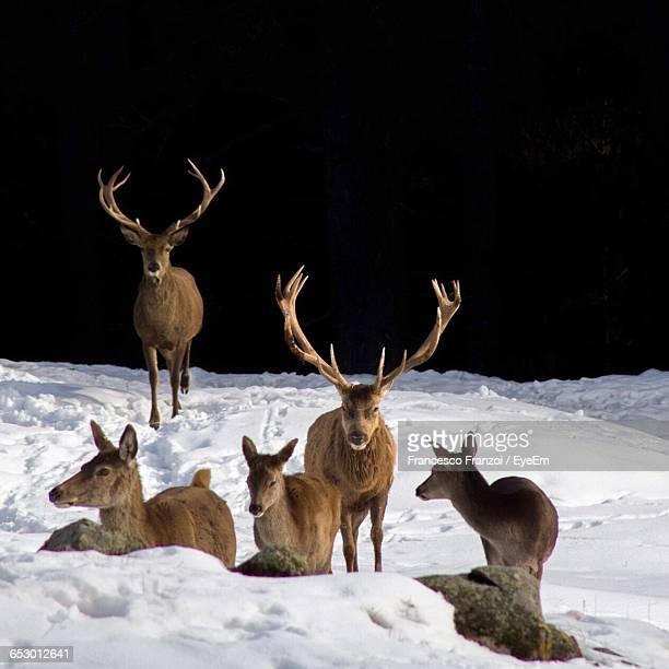 deer standing in snow covered field - reindeer stock pictures, royalty-free photos & images