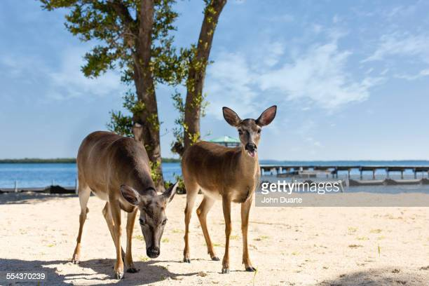 deer standing on beach - florida keys stock pictures, royalty-free photos & images