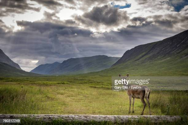 deer standing on field against sky - biche photos et images de collection