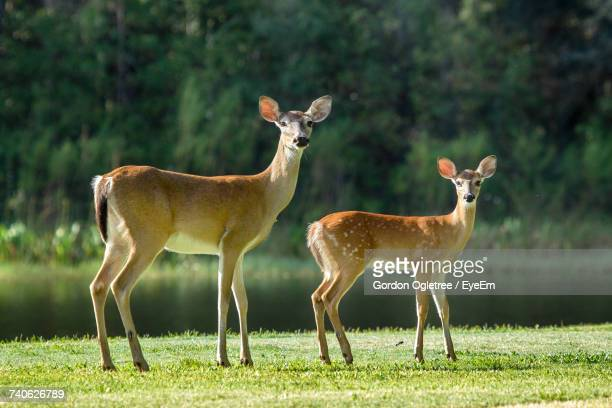 deer standing on field - fawn stock photos and pictures