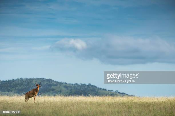 deer standing on grassy field against sky - vertebrate stock pictures, royalty-free photos & images