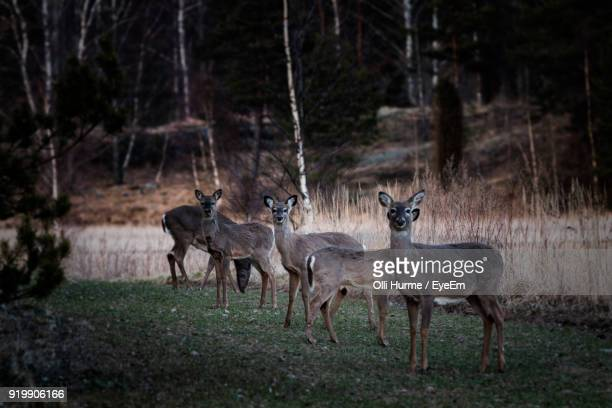 Deer Standing On Grassy Field In Forest