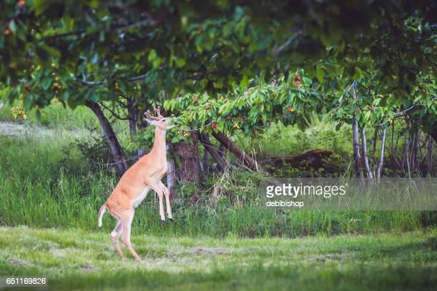 Deer Standing On Hind Legs And Eating Cherries