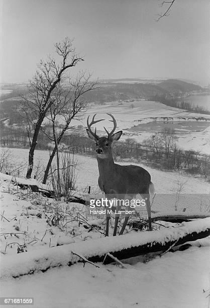 deer standing on snowy landscape - vertebrato foto e immagini stock