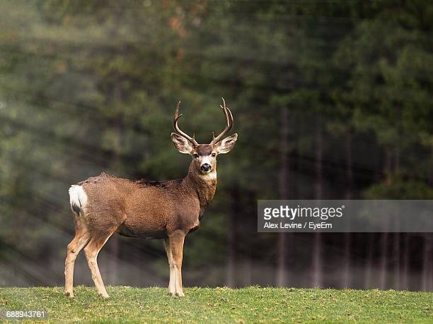 deer standing outdoors - buck stock photos and pictures
