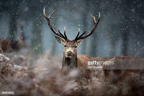 A deer stands in the snow in Richmond Park on December 16 2009 in London England A cold weather front is due to bring snow to parts of the country...