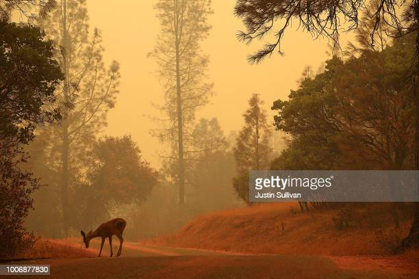 A deer stands on a road covered with fire retardant as the Carr Fire burns in the area on July 28 2018 near Redding California A Redding firefighter...