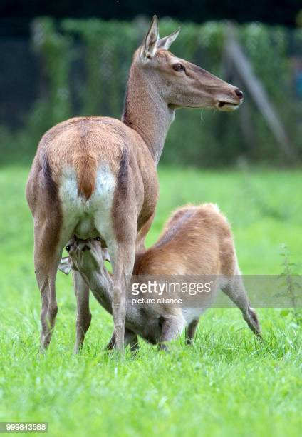 A deer suckles her fawn on the grounds of Gut Leidenhausen in Cologne Germany 02 September 2017 Mating season for these animals begins around mid...