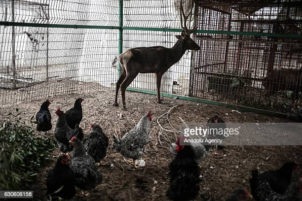A deer surrounded by lots of chickens stands in a cage at the Zoo in Rafah Gaza on December 26 2016 Gaza's the first and one zoo which was...