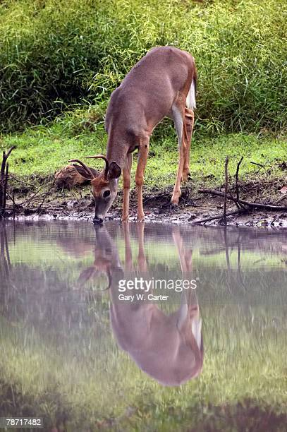 deer taking a drink at water's edge - white tail deer stock photos and pictures