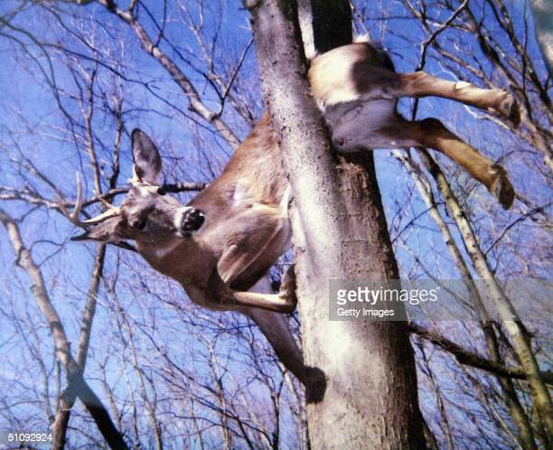 Deer That Apparently Fell Off Of A Rock Bluff Then Became Trapped In A Tree And Eventually Freed By Firefighters February 25 Had Died In Monroe...
