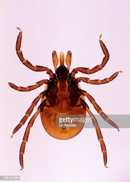 Deer Tick, Adult female. Ixodes dammini. Lyme Disease, 5X at 35mm. The head has a piercing organ called the hypostome. The nymph stage is the most likely stage to infect humans.
