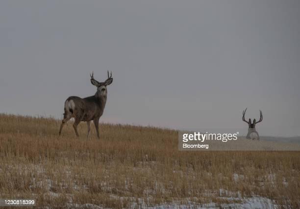 Deer walk through a farmer's field along the route of the Keystone XL pipeline in Oyen, Alberta, Canada, on Tuesday, Jan. 26, 2021. U.S. President...