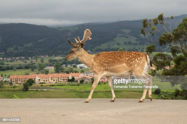 Deer walking free on a road, North of Spain