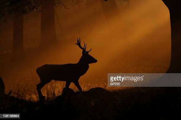 deer walking through mist at sunset - deer stock pictures, royalty-free photos & images