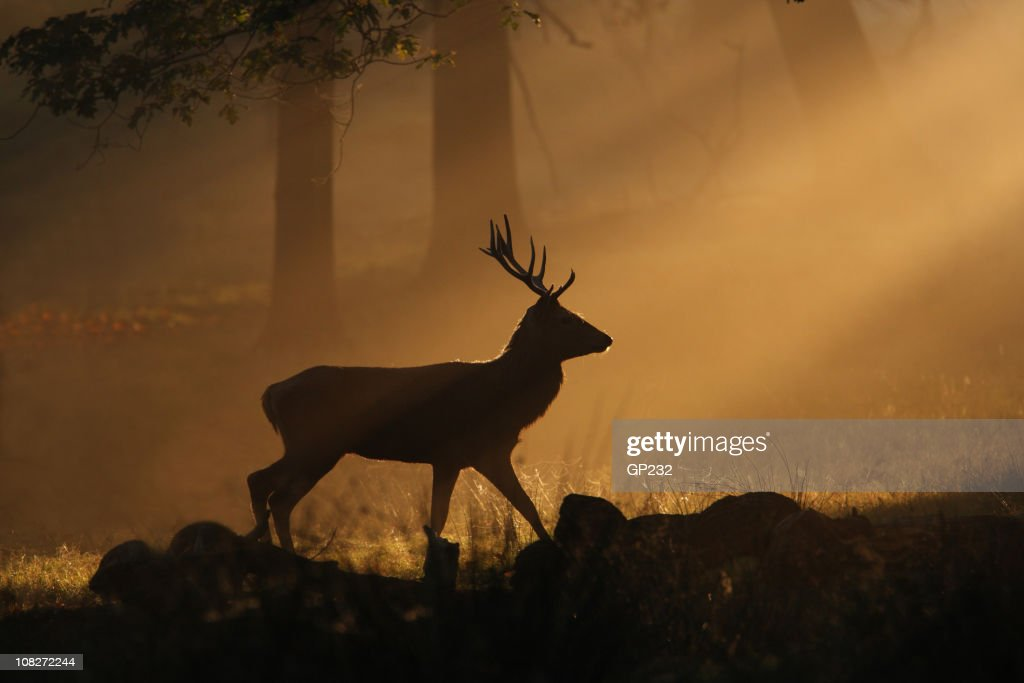 Deer walking through sunbeams : Stock Photo